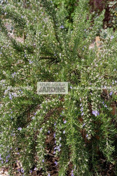 la phototh que les plus beaux jardins rosmarinus officinalis roman beauty romarin compact. Black Bedroom Furniture Sets. Home Design Ideas