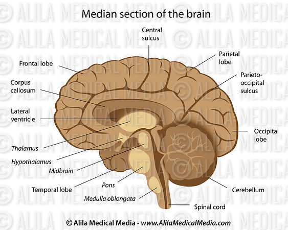 Alila Medical Media | Human brain anatomy labeled. | Medical ...