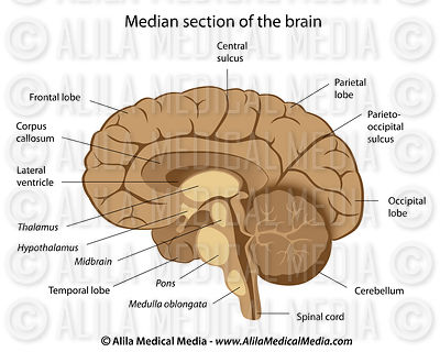 Human brain anatomy 101 with pictures and video human brain anatomy labeled ccuart Images