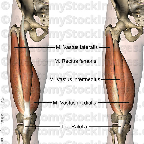 Anatomy Stock Images | knee-muscles-musculus-quadriceps-femoris ...