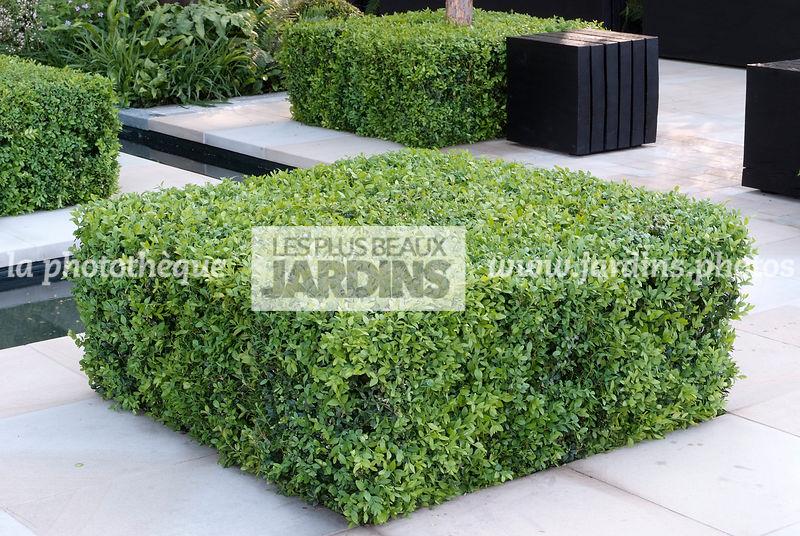la phototh que les plus beaux jardins buxus sempervirens buis common boxwood buxaceae. Black Bedroom Furniture Sets. Home Design Ideas