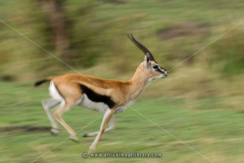 gazelle running from lion - photo #25