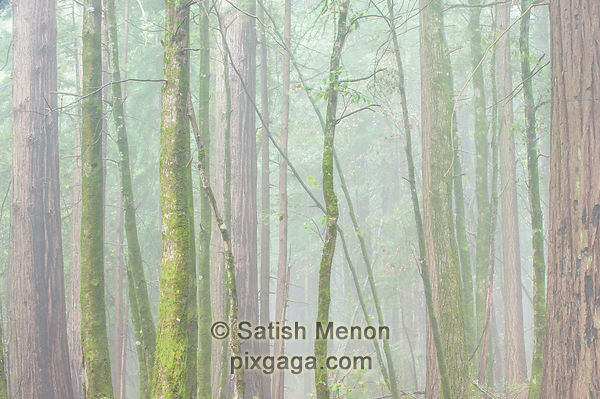 Trees and Morning Fog, Big Basin Redwoods State Park, Boulder Creek, CA, USA