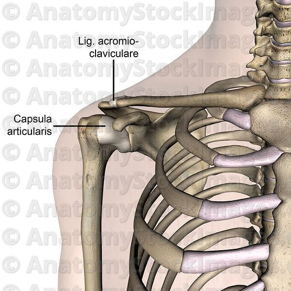 Ligamentum acromioclaviculare || Med-koM