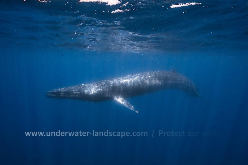 Rorqual d'Omura-Gabriel barathieu-photographe sous marin