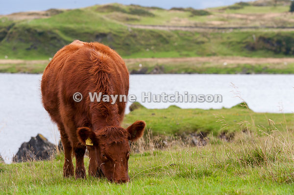Wayne hutchinson photography luing cattle a british native beef luing cattle a british native beef breed on their home island of luing on publicscrutiny Images