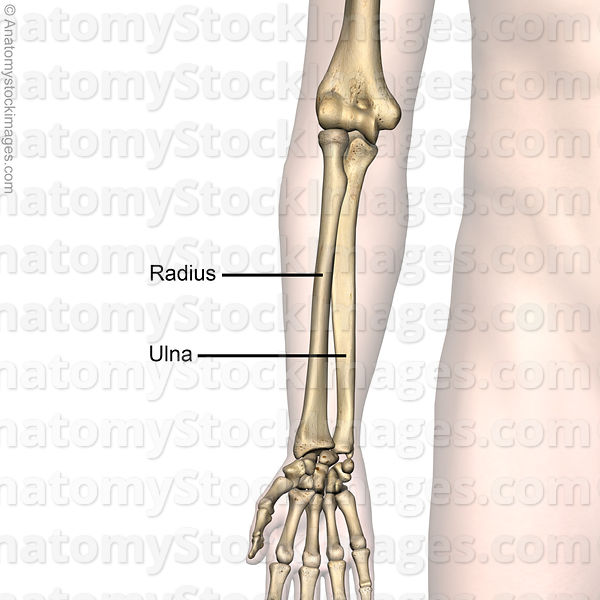 Anatomy Stock Images | forearm-bones-radius-ulna-anatomy-front-skin ...
