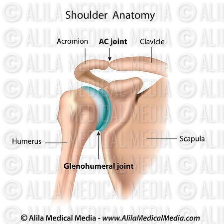 Alila Medical Media   Anatomía del hombro, diagrama etiquetado ...