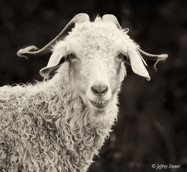Jeffrey Stoner Photography | Nash - Goats of Roan
