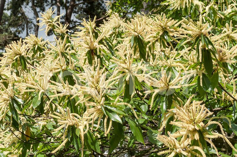 Photo de Fleurs de Castanea sativa - fotoflor - grand choix de ...