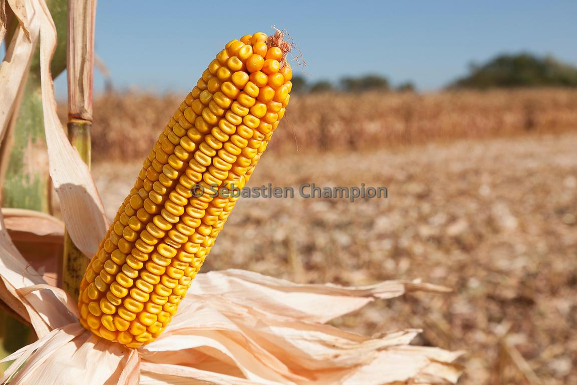 Photographie epi de mais grain a maturite avant recolte - Cuisiner des epis de mais ...