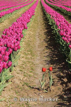 140407_WH_0156d, Tulip Fields, Skagit Valley