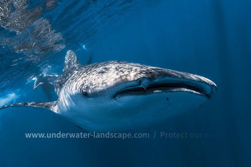 Photo nosy be- requin baleine.