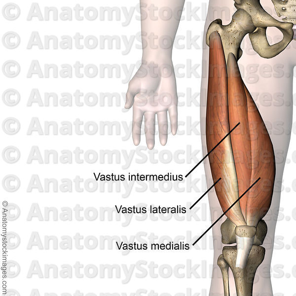 7f0d7069 18ab 4626 9b39 Cb12384163f4 on location of knee muscles