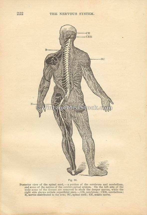 VintageMedStock | Anatomy, Physiology And Hygiene Author Walker