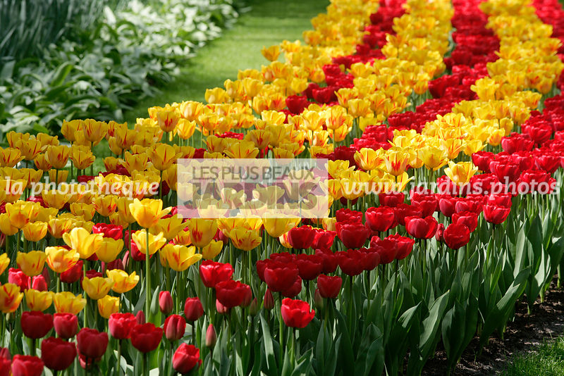 La Phototheque Les Plus Beaux Jardins Tulipa Come Back Tulipe