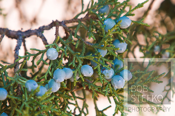Juniper berry plant, Juniperus chinensis, Arches National Park, Utah, USA