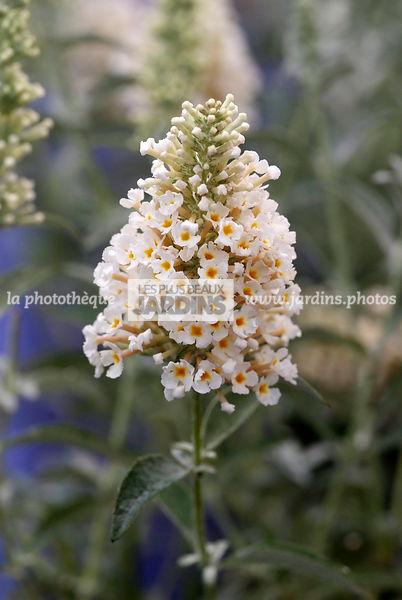 arbres fleur blanche