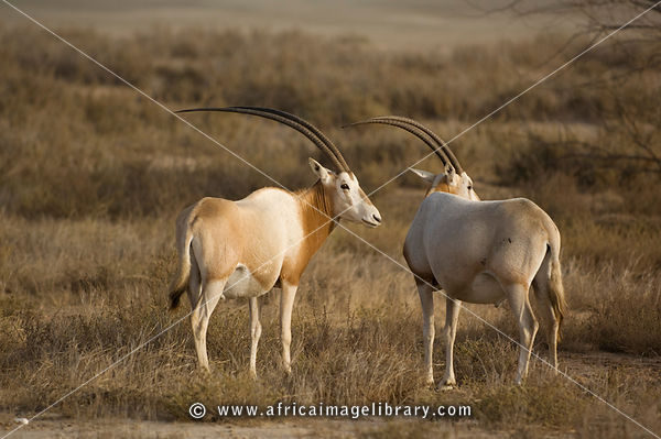 Arabian oryx  Oryx leucoryx  Fight קרב ראמים