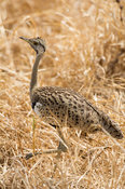 Black-bellied bustard ( Eupodotis melanogaster), Mikumi National Park, Tanzania