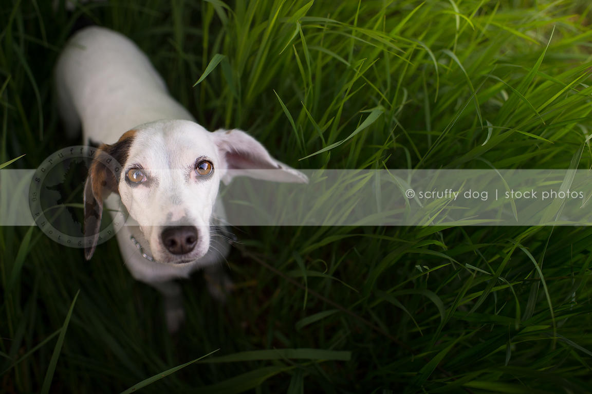 Stock Photo Cute Small White Dog With Ear Patch Looking Upward From