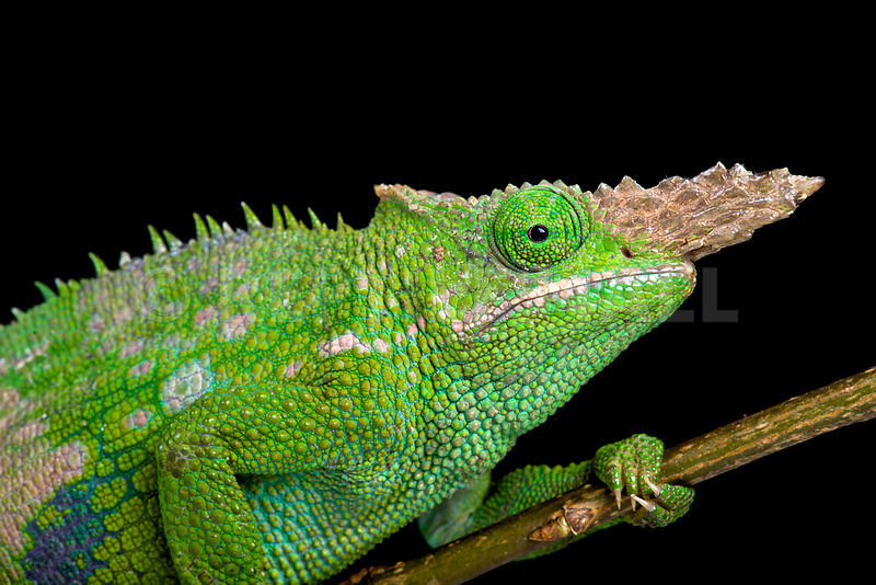 Reptiles4all fischers chameleon kinyongia fischeri fischers chameleon kinyongia fischeri thecheapjerseys Choice Image