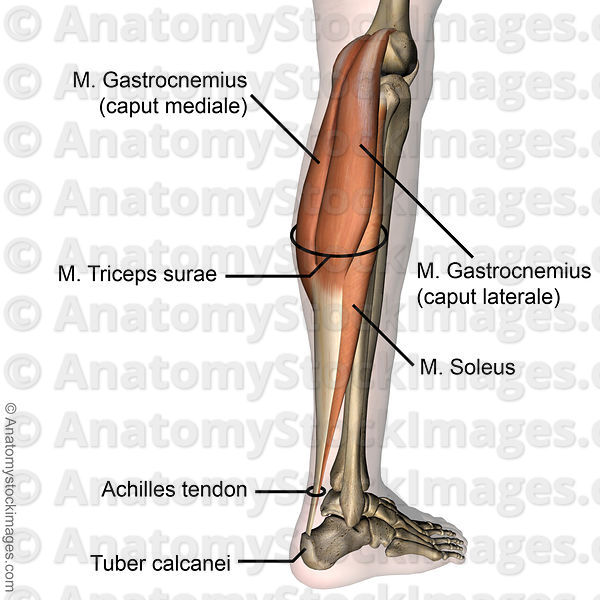 Anatomy Stock Images | lowerleg-musculus-triceps-surae-achilles ...
