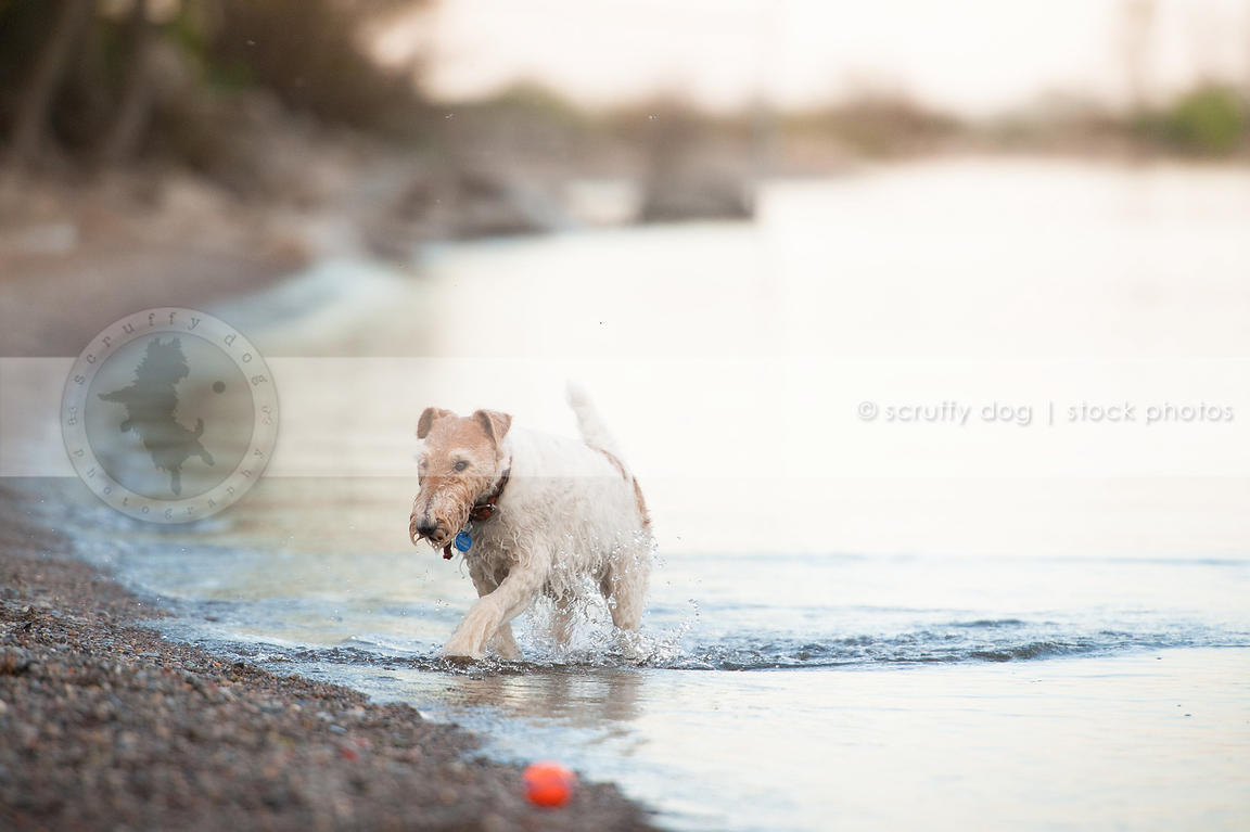 Stock Photo wet wirehaired fox terrier dog emerging from water on ...