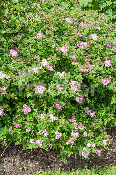 Photo De Spiraea Japonica Little Princess Spiree Japonaise Rose