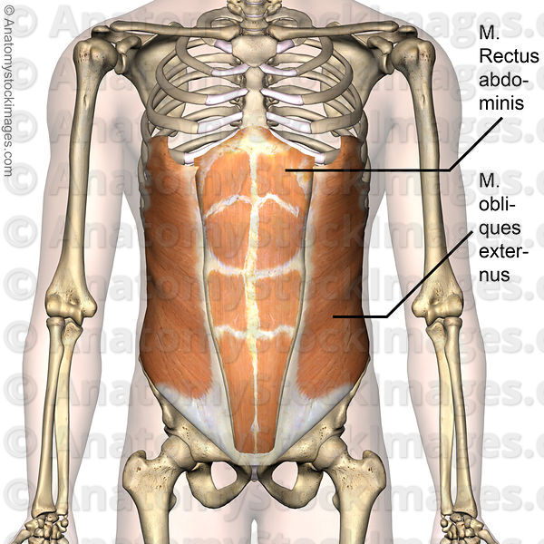 Anatomy Stock Images   torso-abdominal-muscles-musculus-obliques ...