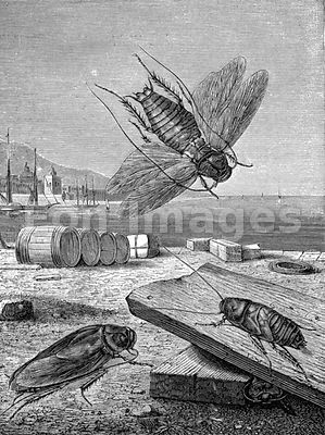 Engraving of cockroaches