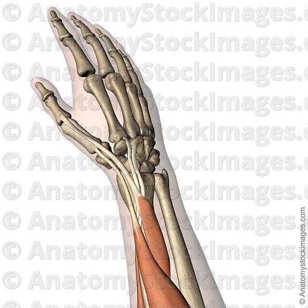 Anatomy Stock Images Forearm Musculus Extensor Carpi Radialis