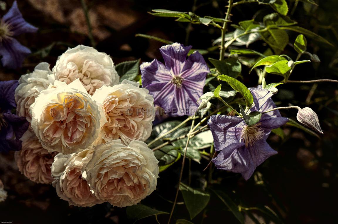 clematis perle dazur rosa mon jardin ma maison - Mon Jardin Ma Maison
