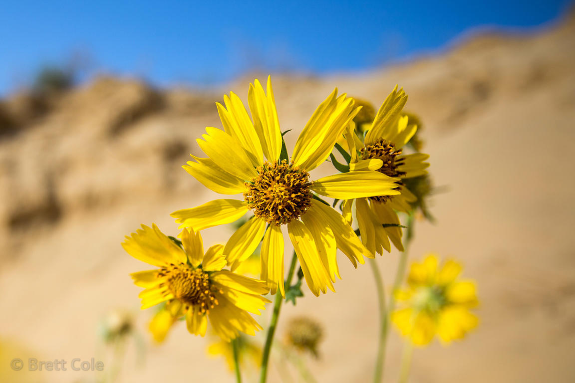 Brett Cole Photography Yellow Flowers Sp Growing In Desert