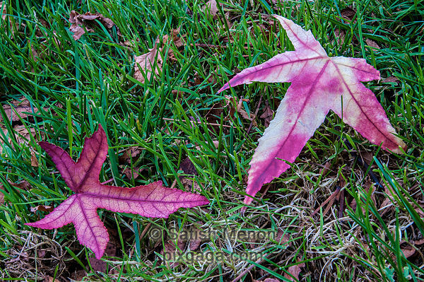Fall leaves, Milpitas, CA, USA
