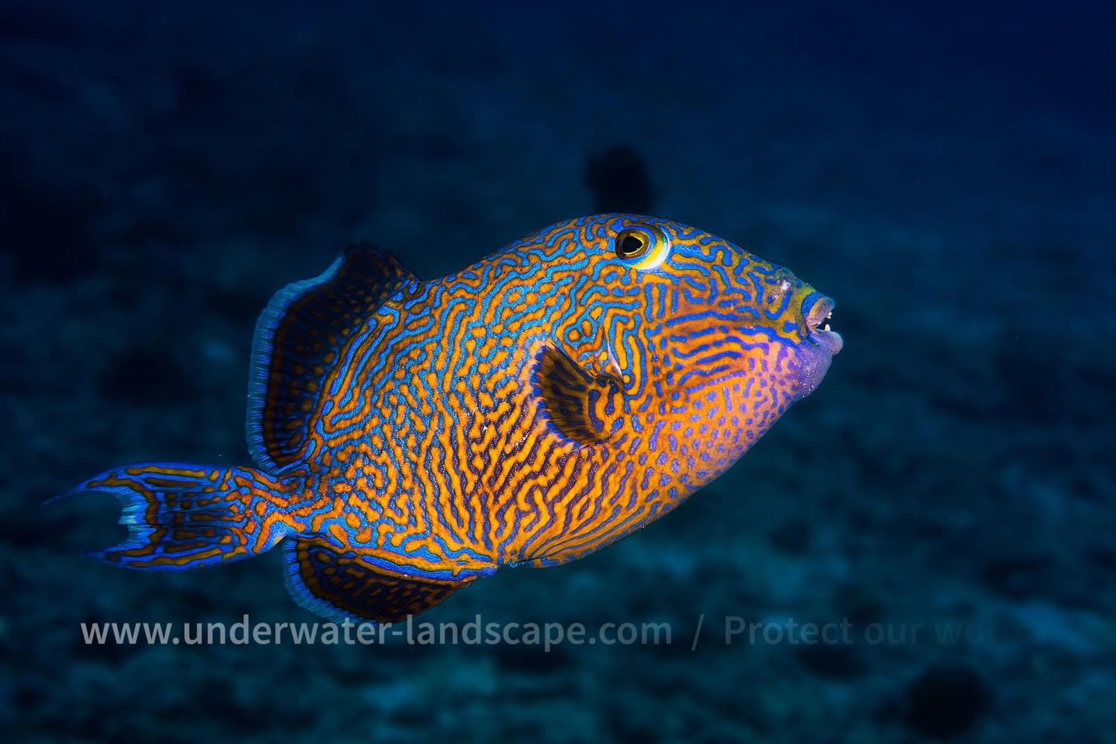 underwater photography blue triggerfish
