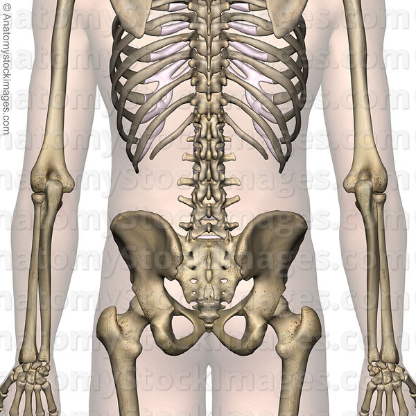 Anatomy Stock Images | lower-back-anatomy-back-skin