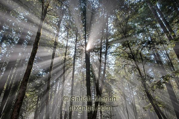 Crepuscular rays, Big Basin Redwoods State Park, Boulder Creek, CA, USA