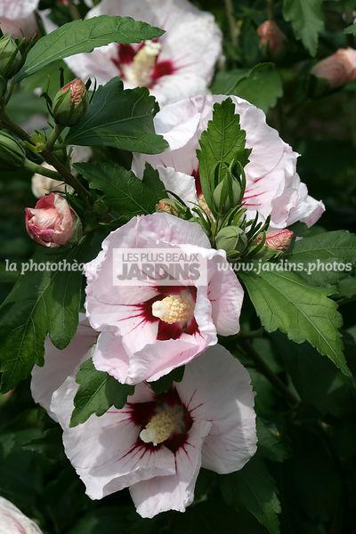la photothèque   LES PLUS BEAUX JARDINS   Hibiscus syriacus \'Helena ...