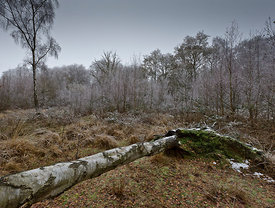 Frosted trees, Epping Forest