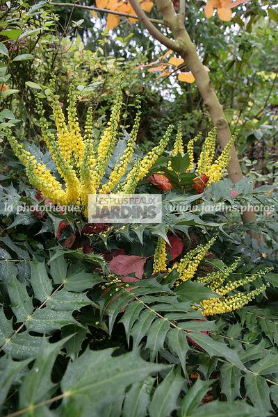 La Phototheque Les Plus Beaux Jardins Mahonia X Media Charity