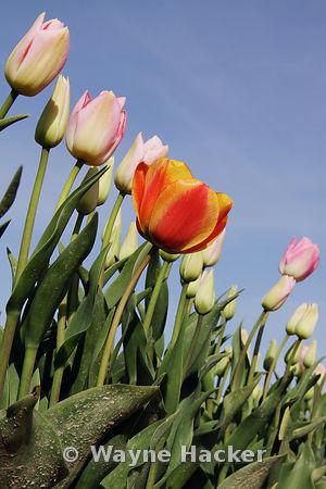140407_WH_0107, Tulip Fields, Skagit Valley