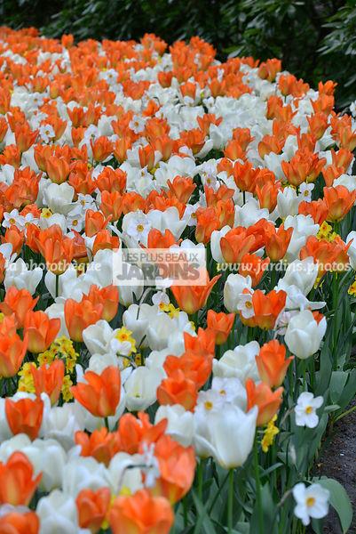 la phototh que les plus beaux jardins massif de bulbe au printemps tulipa 39 purissima. Black Bedroom Furniture Sets. Home Design Ideas