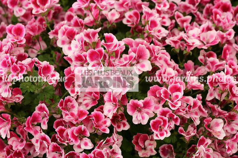 la phototh que les plus beaux jardins pelargonium cottenham jubilee g ranium angel. Black Bedroom Furniture Sets. Home Design Ideas