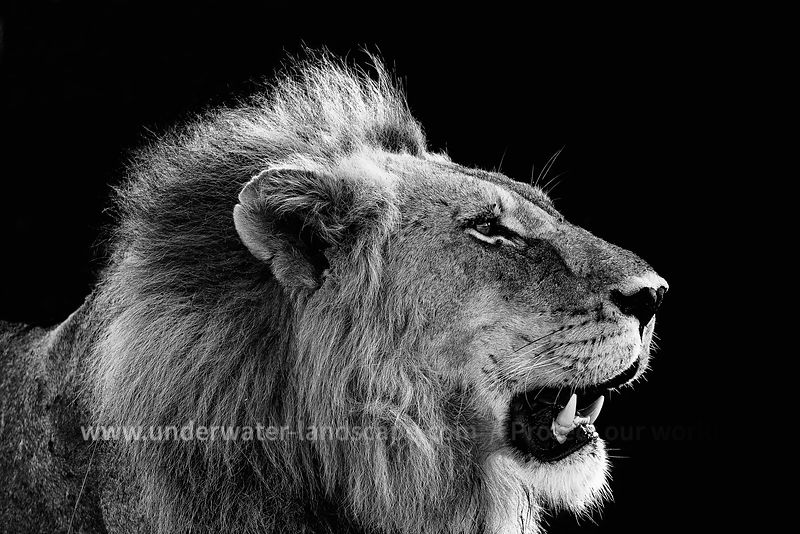 the king lion in black and white-South Africa: pictures of animals in the Kruger National park