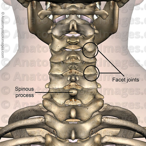 Anatomy Stock Images | neck-spinous-process-facet-joint-joints ...