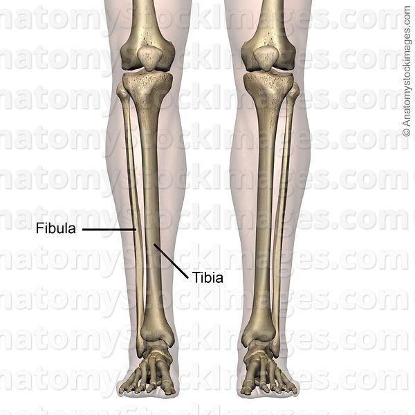 Anatomy Stock Images | lowerleg-bones-tibia-fibula-front-skin-names