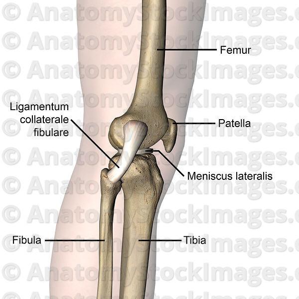 Anatomy Stock Images   knee-articulatio-genus-fibular-collateral ...