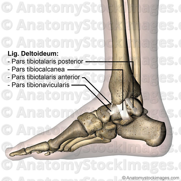 Anatomy Stock Images Ankle Ligaments Medial Deltoid Ligament