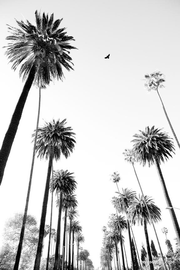 Photo Print of PALM TREES LOS ANGELES CALIFORNIA BLACK AND WHITE ...